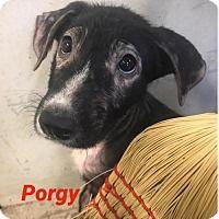 Adopt A Pet Porgy New York Ny Pets Dog Emergency Dog Best Friend