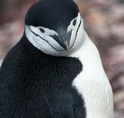 Chinstrap Penguin (Pygoscelis Antarcticus) - Animals - A-Z Animals - Animal Facts, Information, Pictures, Videos, Resources and Links