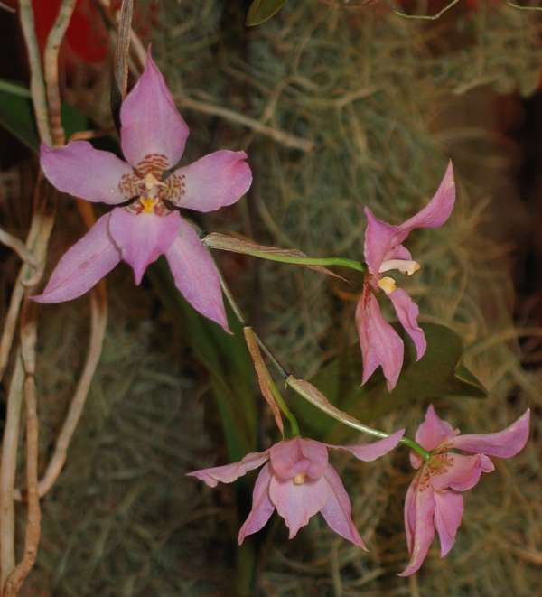 Lemboglossum cervantesii (La Llave & Lex.) Halb.