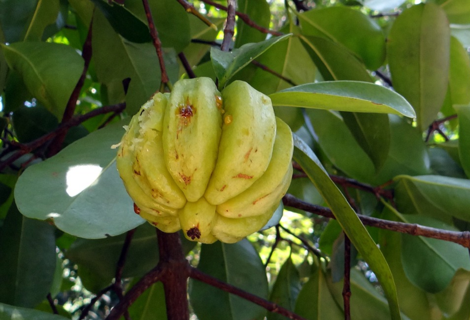 5 Amazing Health Benefits Of Garcinia Cambogia You Didn T Know