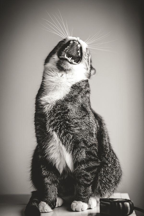 evil laughter cat Muahahaa