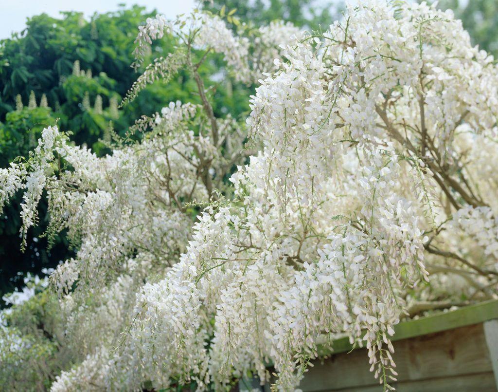 Japanischer blauregen 39 alba 39 wisteria floribunda 39 alba for Japanische pflanzen
