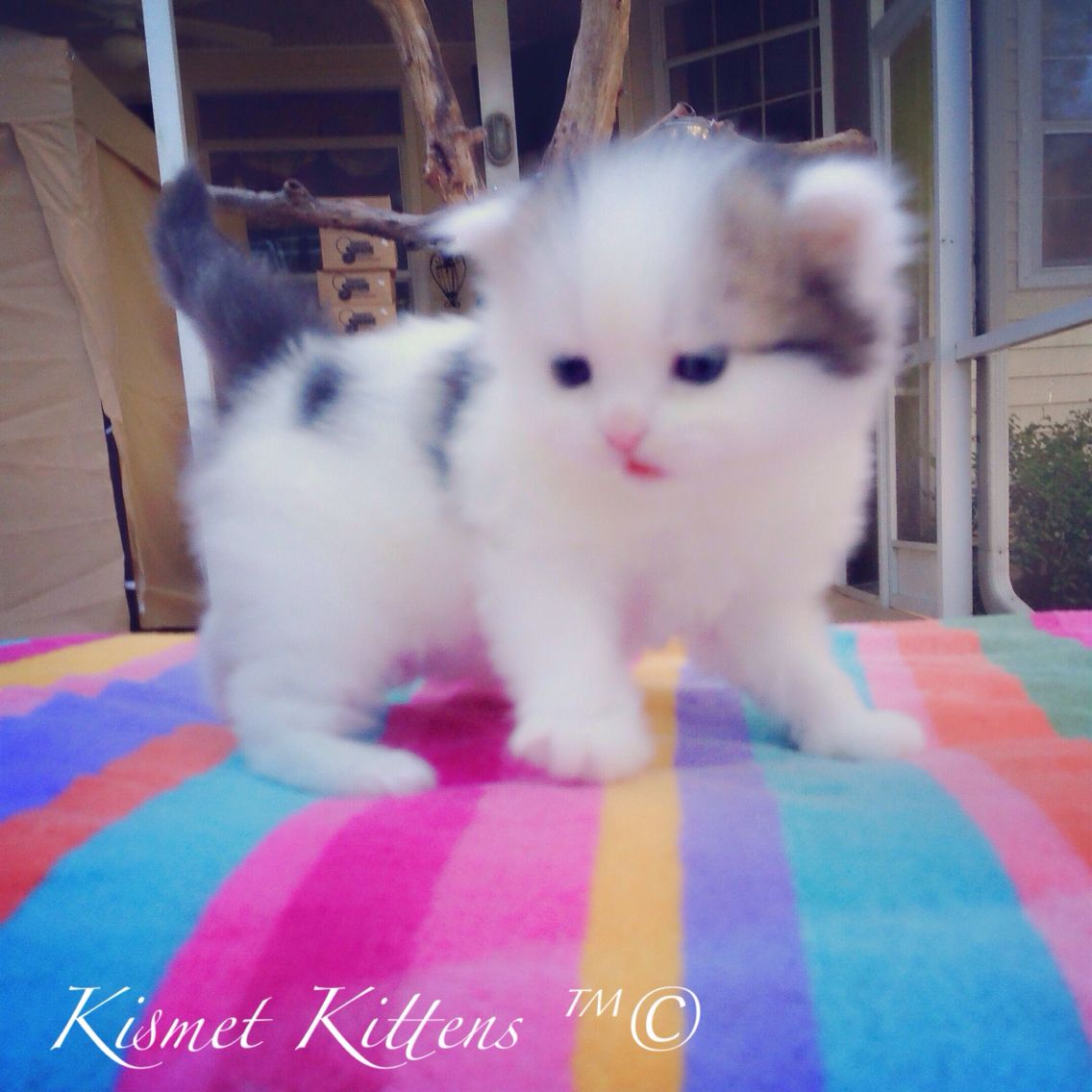 Pin on Teacup Persian Kittens For Sale