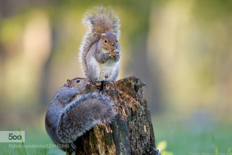Squirrel by photoenatura. Please Like http://fb.me/go4photos and Follow @go4fotos Thank You. :-)