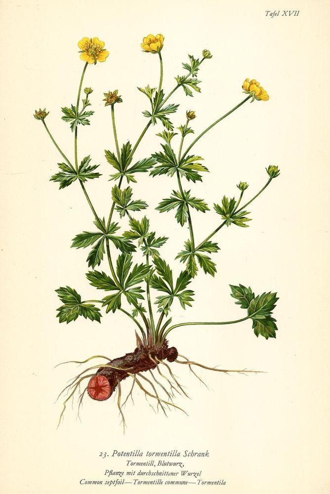 TORMENTILL BLUTWURZ Botanik Farbdruck Antiker Druck Antique Botanical Print
