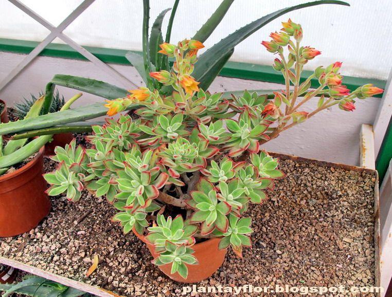 Nombre bot nico echeveria pulvinata variedad echeveria - Nombres de plantas de jardin ...