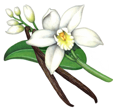 Vanilla plant with one flower, five buds and one vanilla bean