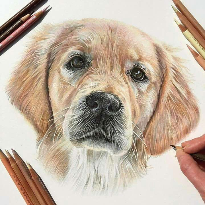 pet canine drawing #canine #goldenretriever #draw #reasonable #cute