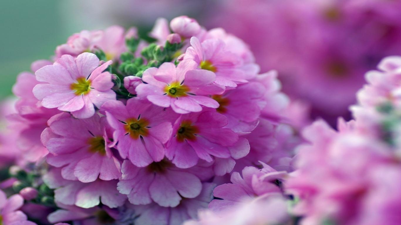 Free Download Hd Beautiful Pink Little Flower Wallpaper Download