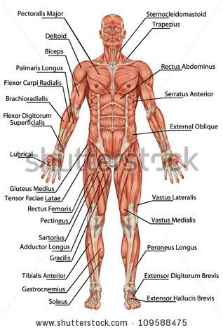 muscular-system-anterior-view-1826411 (318×470) | ideas of, Muscles