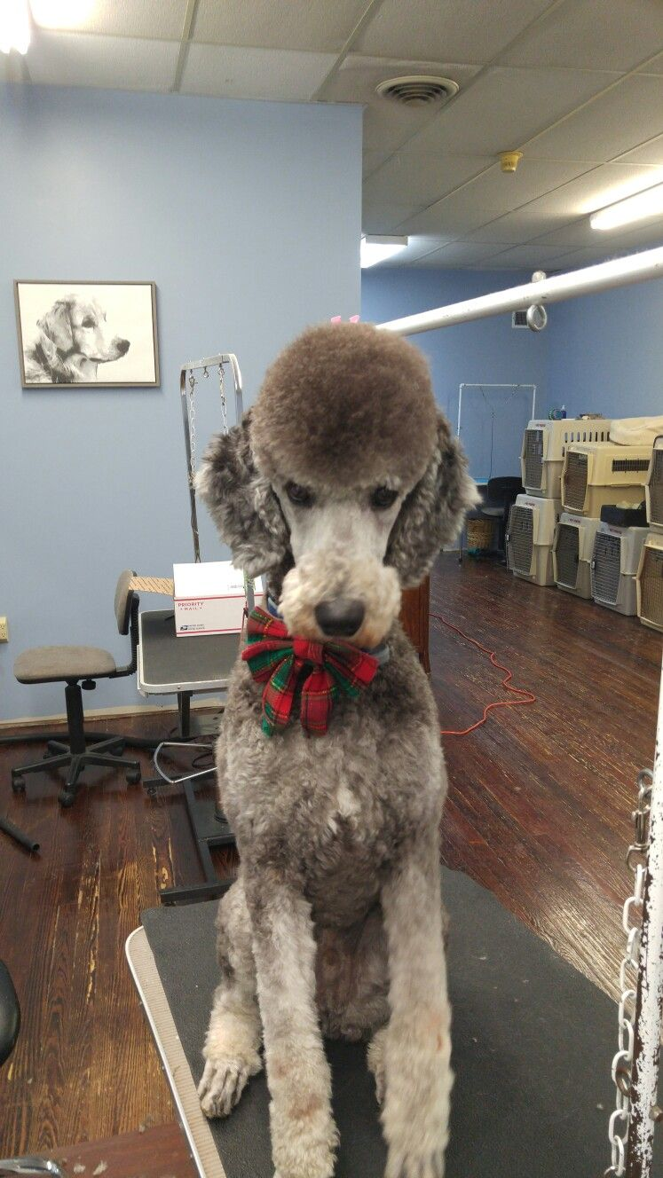 Pin By Aimee Robinson On For The Love Of Poodles Poodle