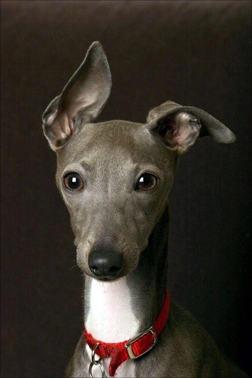 italian greyhound cutie.