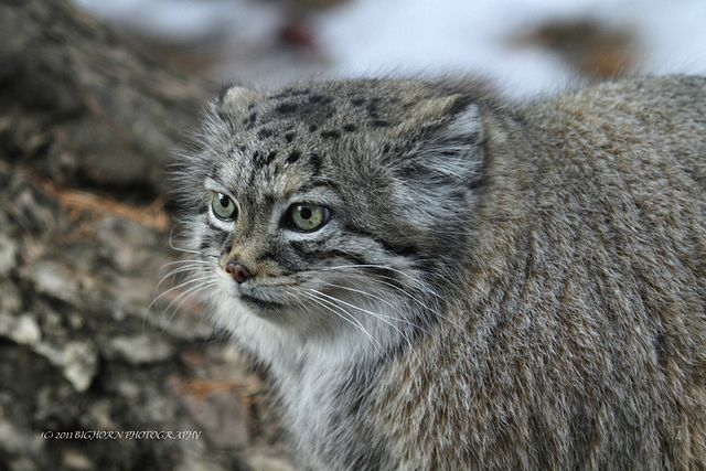 Pallas Cat | Flickr - Photo Sharing!