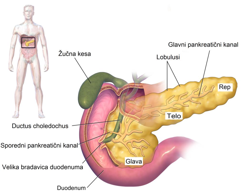 Pankreas • Gušterača | Pinterest