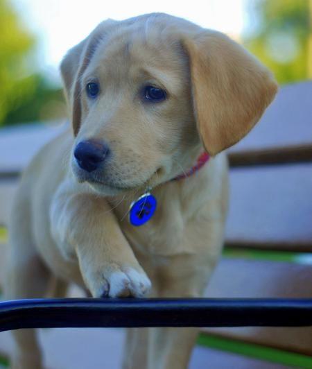 Figo The Labrador Mix Puppies Labrador Mix English Foxhound