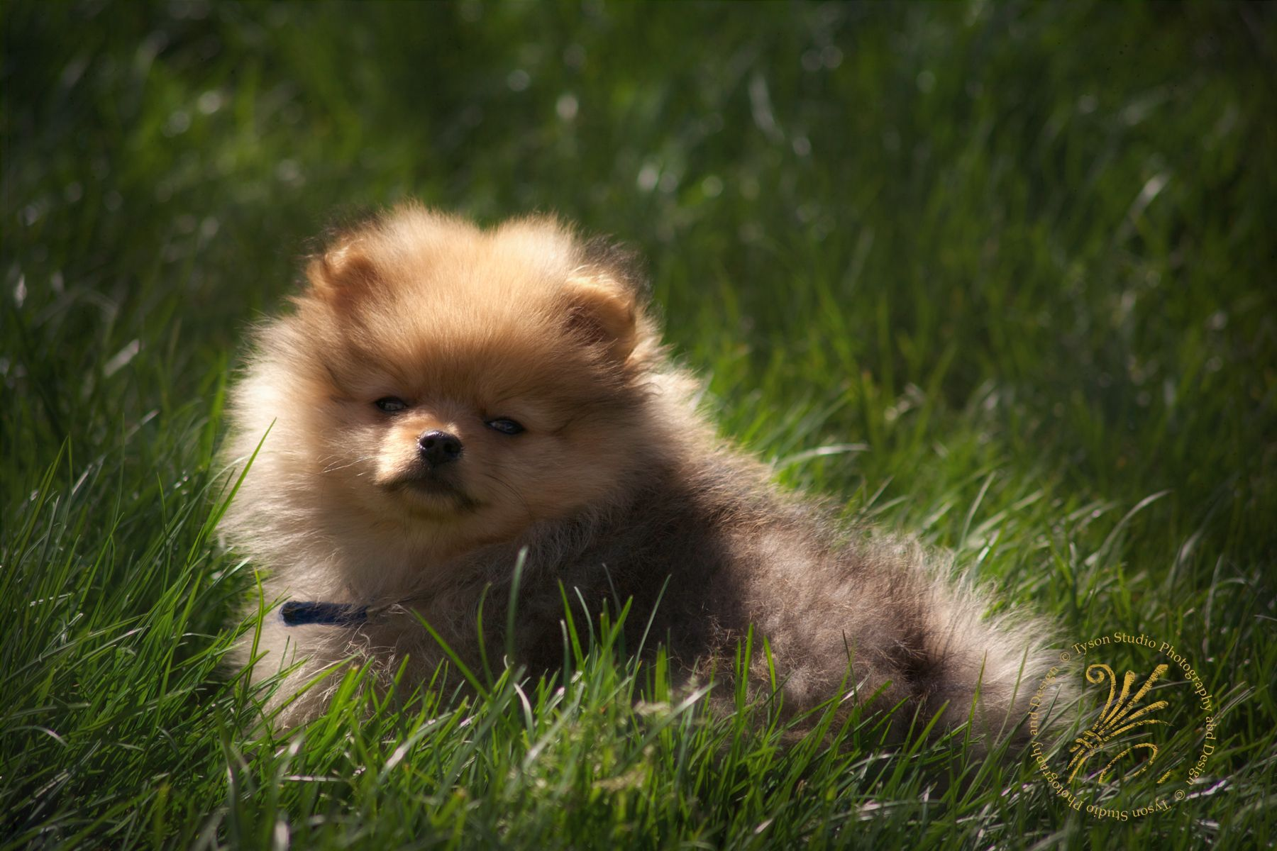 red sable pomeranian puppy - our new studio mascot ...