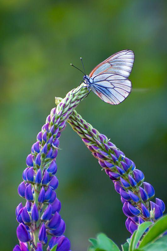 Pretty butterfly on pretty flowers!