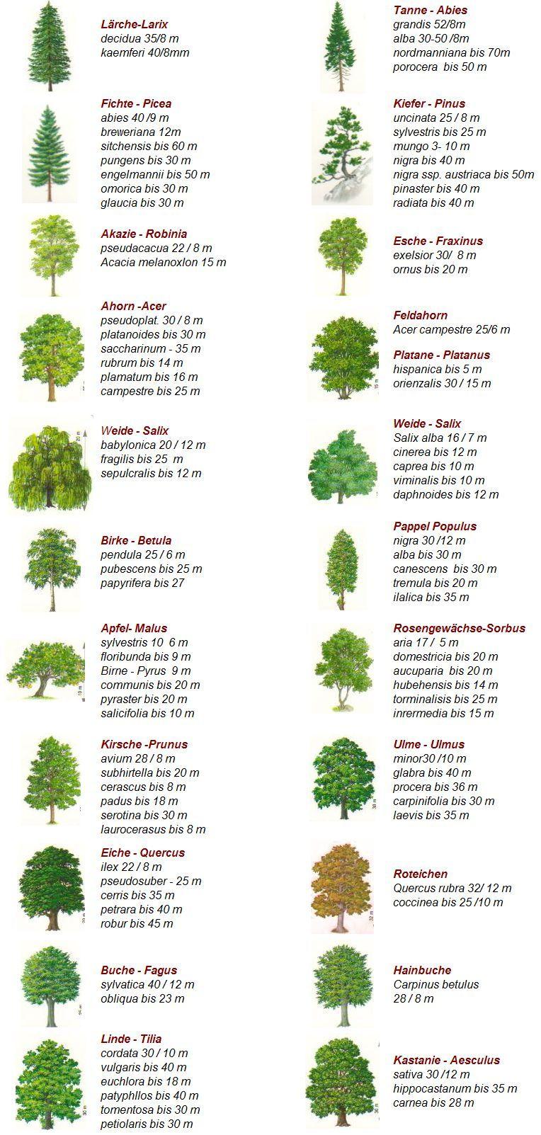 #Thema aus dem Bereich #Biologie: Baumarten | Bonsai ...