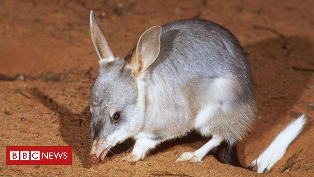 Australia Releases Bilbies Into The Wild Animals Australian