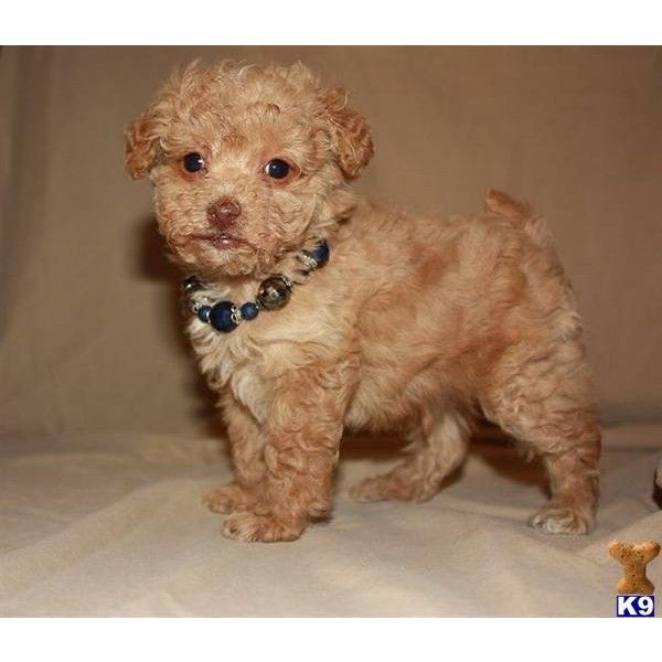 Akc Toy Poodle Puppy For Sale Apricot Boy Poodle Puppies For