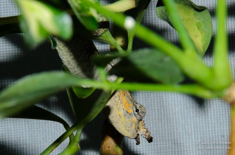 Male Kinyongia Tavetanum Aka Dwarf Fischer S Chameleon