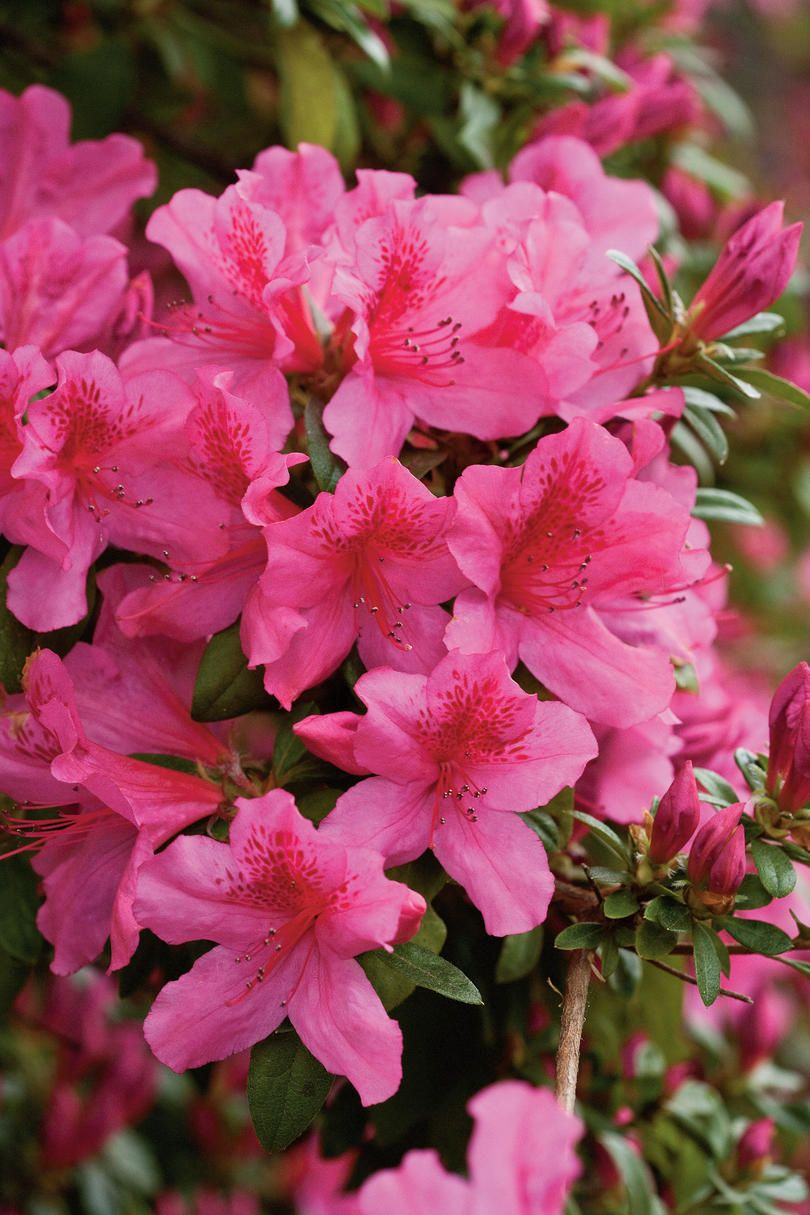 Choose Your Favorite Azalea Azalea Flower Azaleas Garden Flower Aesthetic