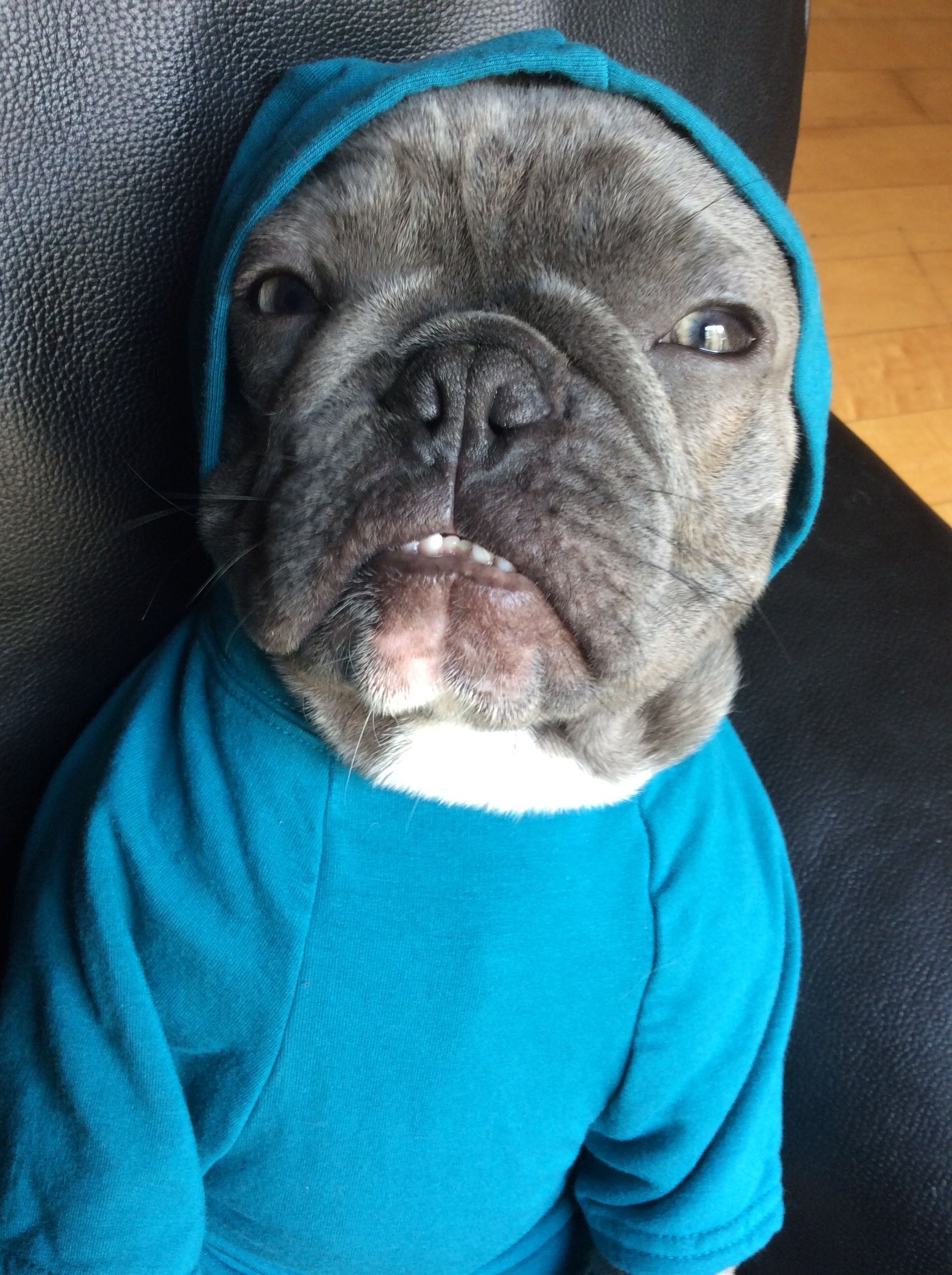 Pin by frenchiestore®️ on Bluenjy Dog facts, French