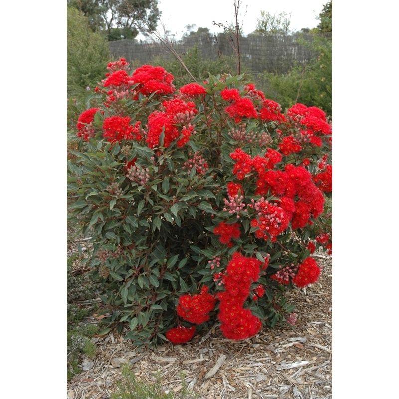 200mm corymbia baby scarlett dwarf red flowering gum tree for Dwarf flowering trees
