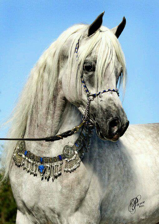 Pin By Lucka Ron On Arabians Grey White Shagya Horses Arabian Horse Beautiful Arabian Horses