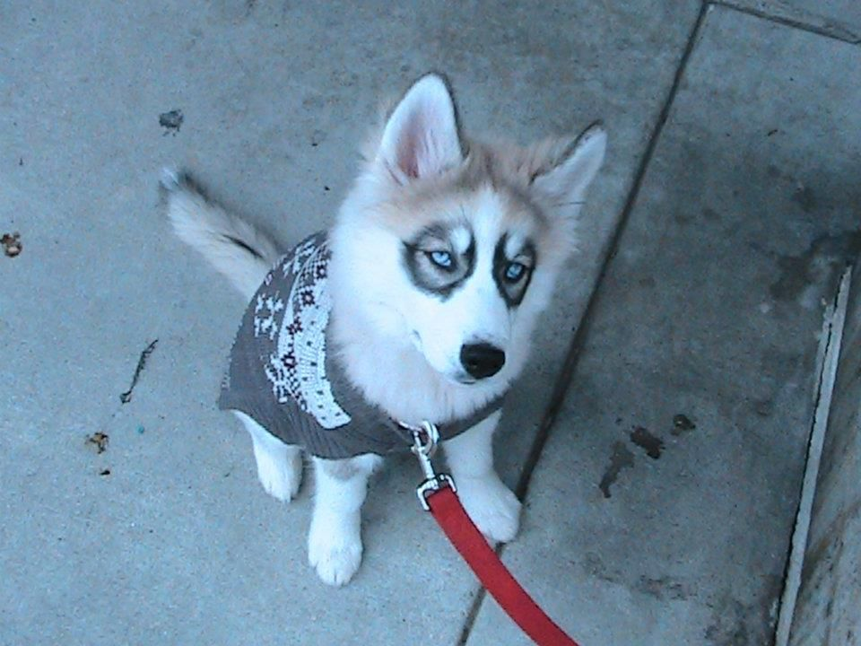 Siberian Husky Sweater With Images Funny Animal Photos