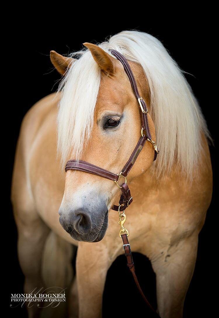 Pin Von Maryam Nosrati Auf Pferd Pferde Haflinger Pferde Pferde Und Hunde