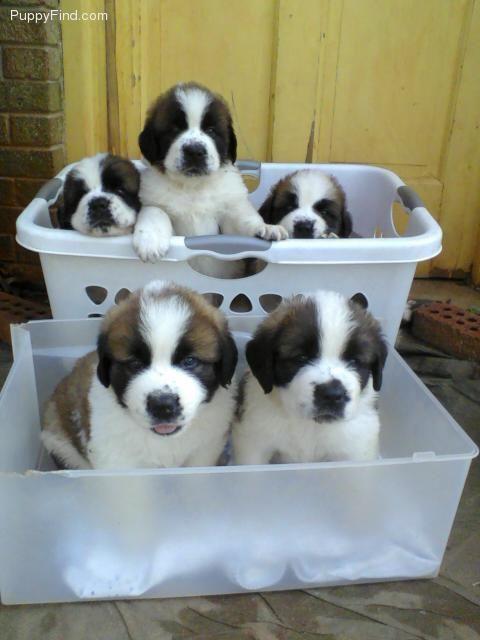 Basket Of St Bernards Stbernards Basket Happy Love With Images St Bernard Puppy Cute