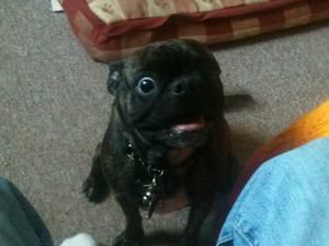 Adopt Queenie On Boston Terrier Pug Pug Mix Boston Terrier