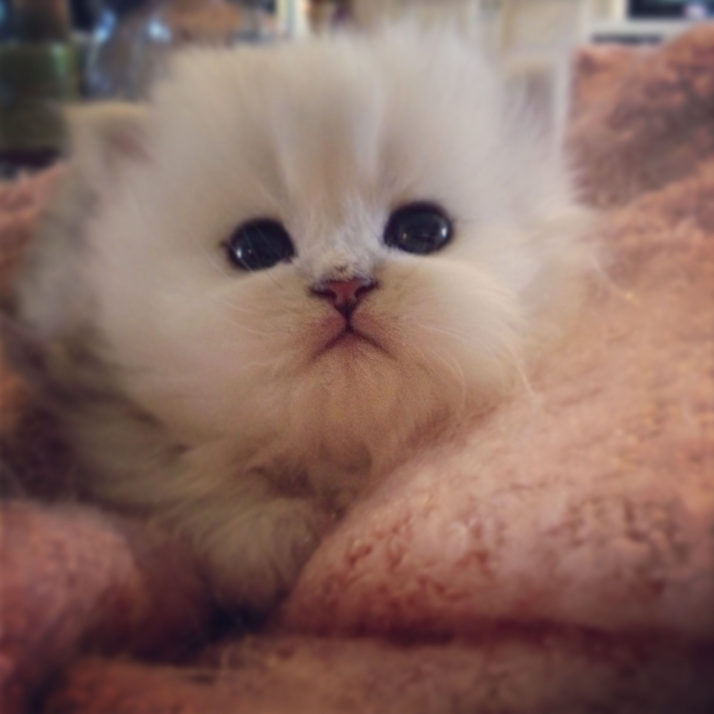 Persian kittens For sale New litter of Silver Shaded Traditional