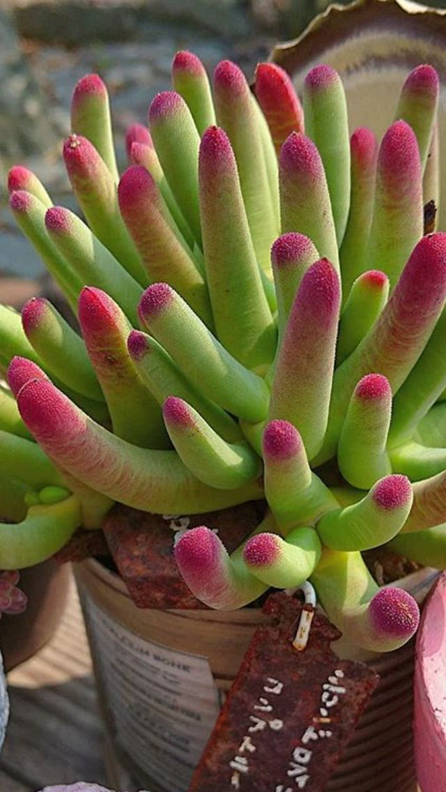 How To Make Succulents Change Color Piante Di Cactus Piante