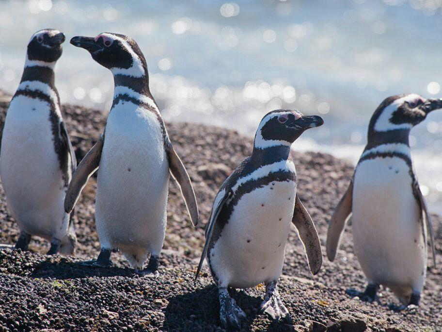 Pin En Pingüino De Magallanes