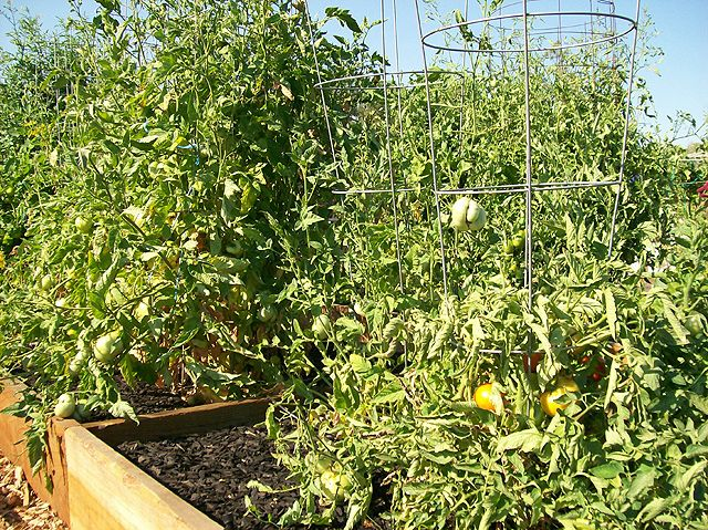Tomatoes:  Try pinching first blossoms for 2-3 weeks to focus energy on plant growth and have stronger plants