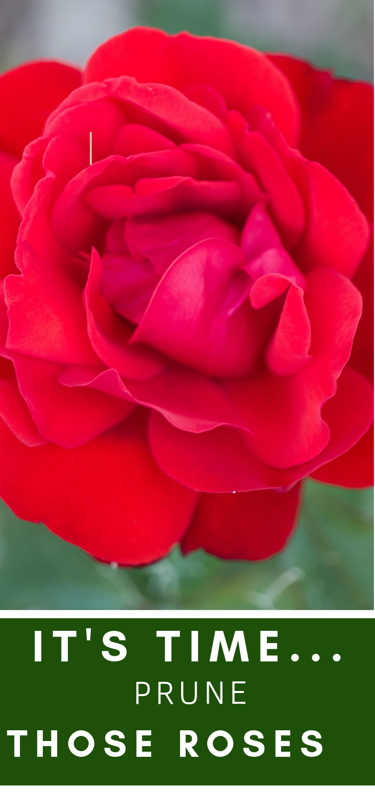 Want Big Bold Roses Prune Now Rose Prune Knockout Roses