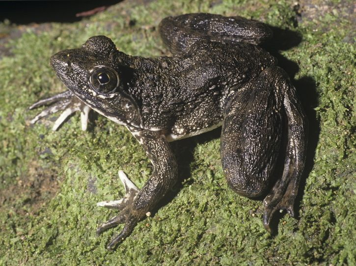 Giant slippery frog. And yes that is it's common name