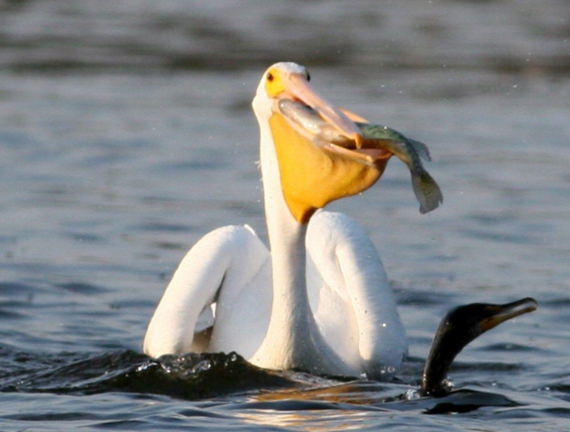 Imagenes de pel canos aves imagenes de aves aves y ave - Fotos de pelicanos ...