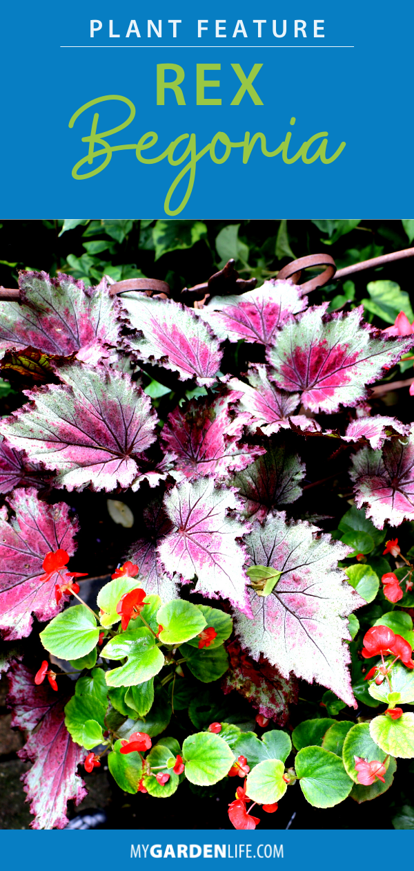 Check Out Our Care Tips For Growing Rex Begonia Successfully Indoors If You Ve Never Heard Of Rex Begonias Their Leaves Come In 2020 Begonia Plants House Plant Care