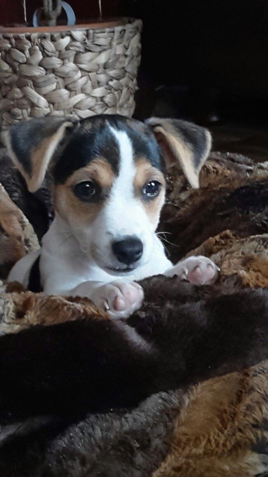 Yuma 😍😍😍 Jack Russel Terrier Terrier, Russell terrier