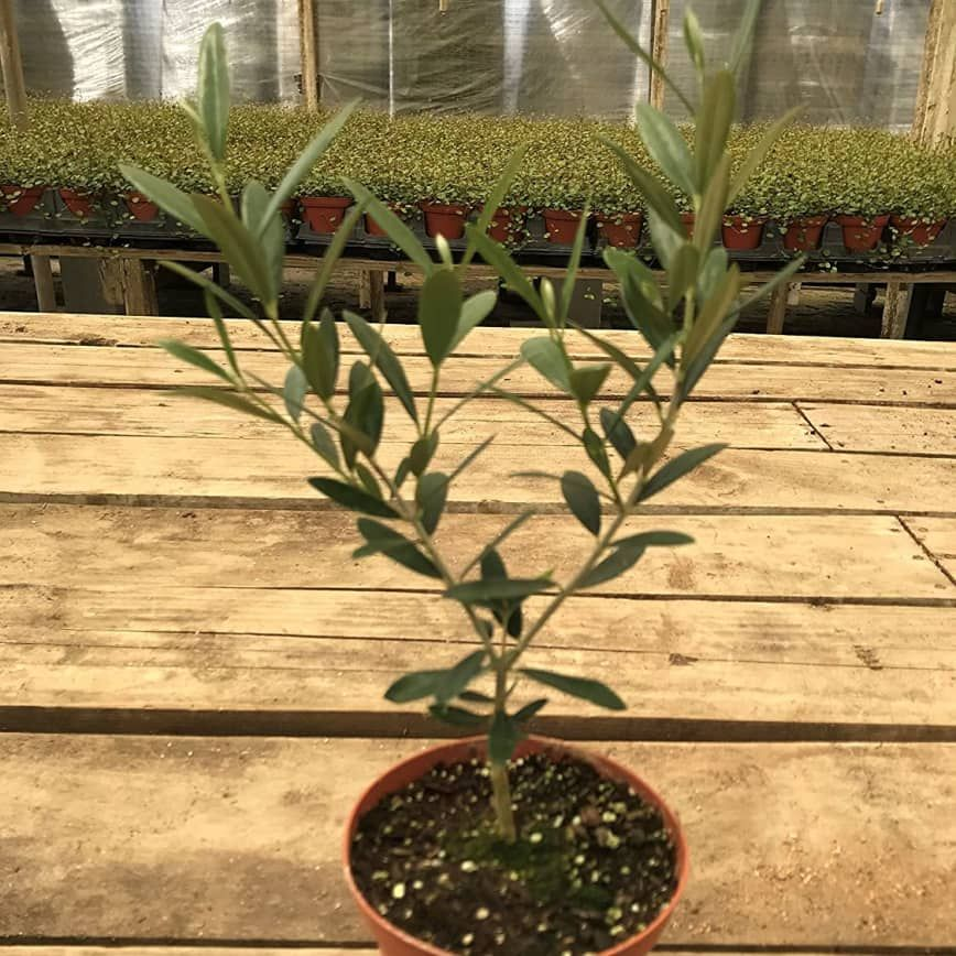 """Olive Trees Are """"Next Big Thing"""" Tree Taking Over the"""