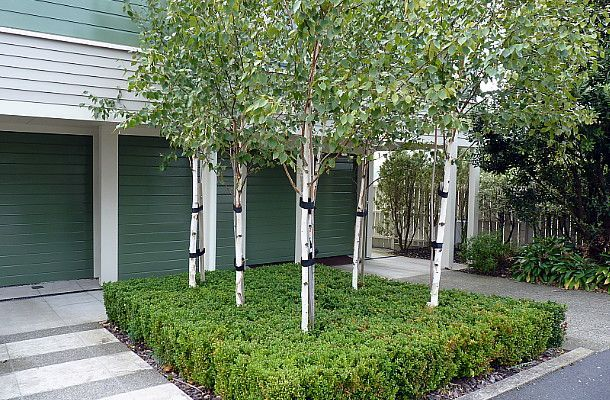 betula utilis jacquemontii google garden. Black Bedroom Furniture Sets. Home Design Ideas