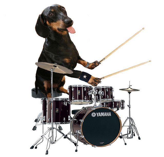 Dachshund Drummer How To Play Drums Dachshund Dachshund Love