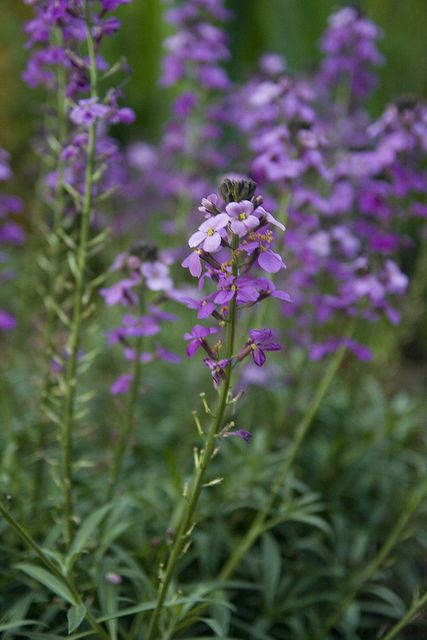 Erysimum Bowles Mauve Wallflower Plant Variegated Plants Foliage Plants