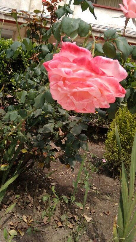 Rosa muy grande del jardín del Colegio