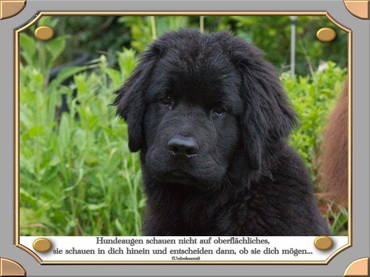 Neufundlander Vom Oberen Perftal Hundezitate Hund Zitat Hunde Niedliche Welpen