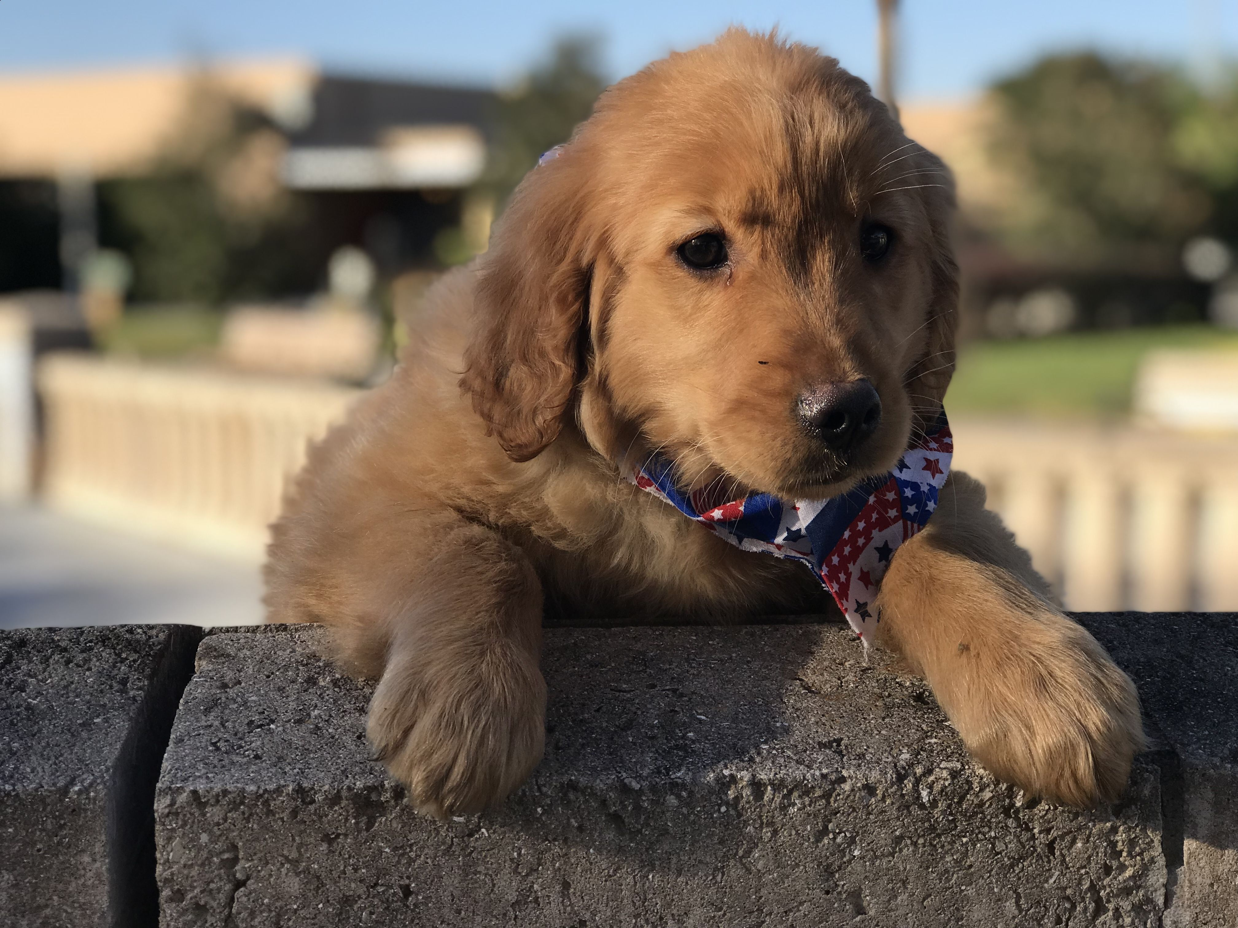 Joe Akc Golden Retriever Goldenretrieverpuppieslakelandfl