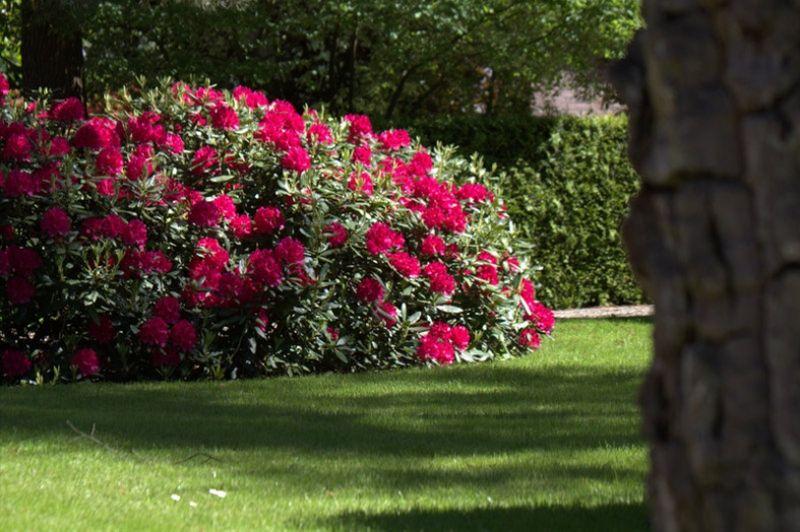 Rhododendron Conservation Land Border Tuin Struiken